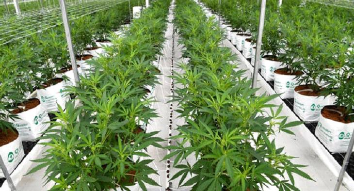canabis farm